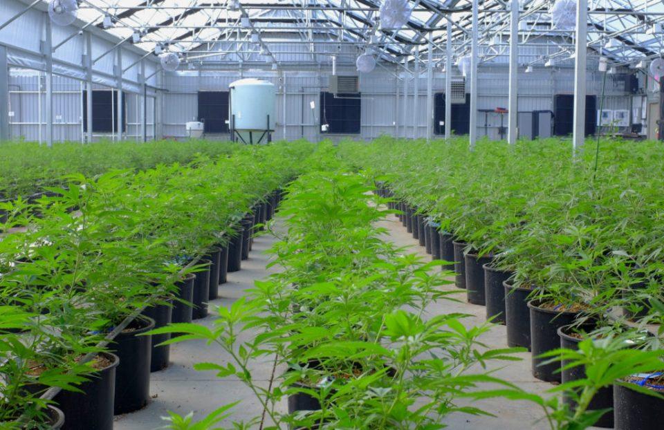 Aurora-Cannabis-Inc-1-1024x663.jpg?fit=960%2C622&ssl=1