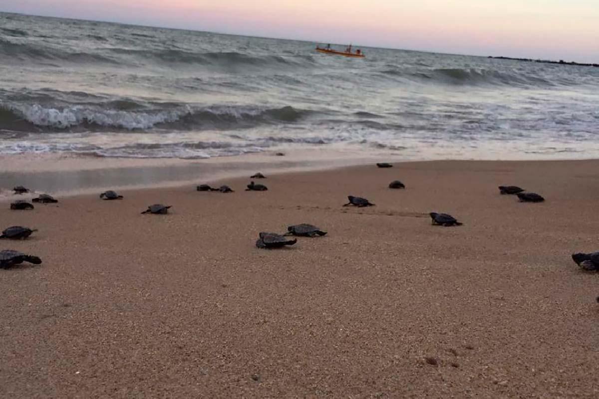O isolamento social permitiu que 97 tartarugas-pente nascessem tranquilamente em Pernambuco - GreenMe.com.br