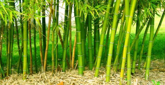 5 Motivi Per Non Piantare Bambù Nel Vostro Giardino Greenmeit