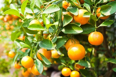 The Medicinal Properties of Oranges