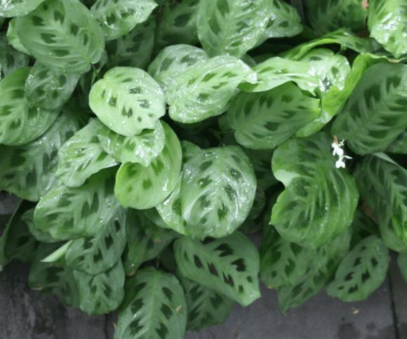 Maranta leuconeura var. kerchoveana