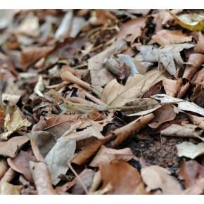 Encounter - Elliot's Forest Lizard