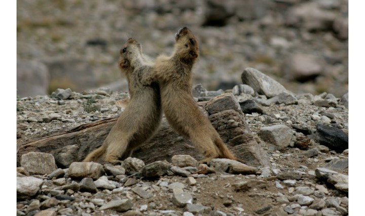 Marmot pups engage in some well-earned rough and tumble