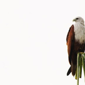 Raptor Friday: Brahminy Kite