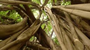 Manjhi Akshayavat, an immortal Banyan tree