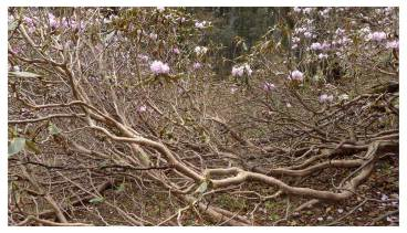 Blooming Dwarf Rhododendron