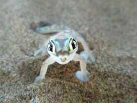 The Palmate Gecko (Pachydactylus rangei)