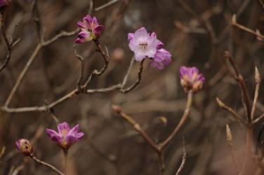 New rhododendron buds