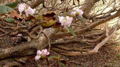 The dense, matted understorey of the dwarf rhododendron thicket is a haven for many birds