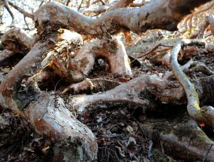 The gnarled, woody roots of the rhododendron have served as clasps for many a climber