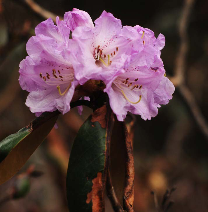 A pink variation of the rhododendron