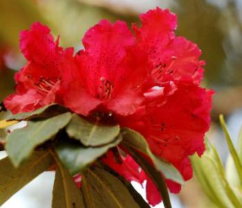 Close-up of a brilliant scarlet rhododendron. No wonder it was mistaken for the Scarlet Finch!