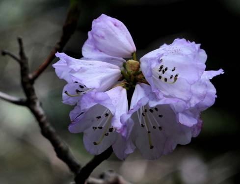 Close-up of a dwarf rhododendron shows deep mauve hues
