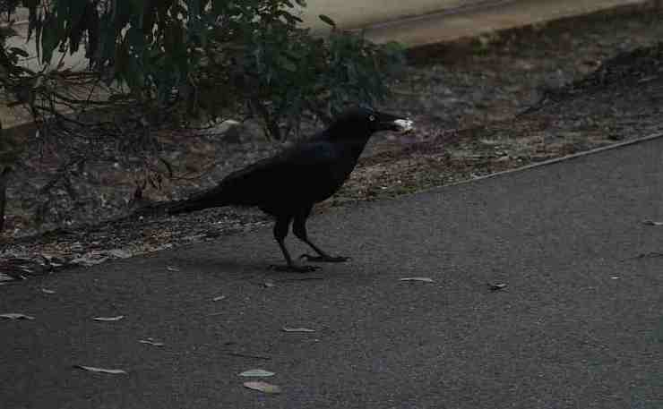 Little Raven in Melbourne
