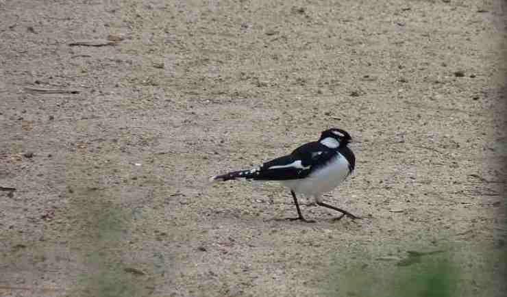 Male Magpie-Lark in Melbourne