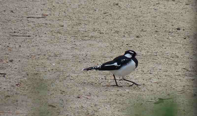 Male Magpie-Lark in Melbourne