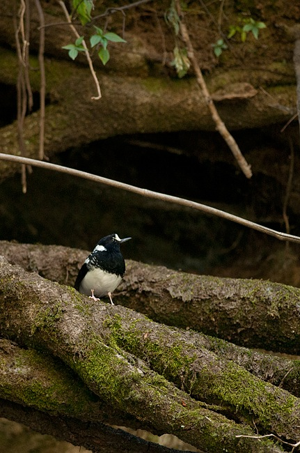 Spotted Forktail en route to the Great Himalayan National Park