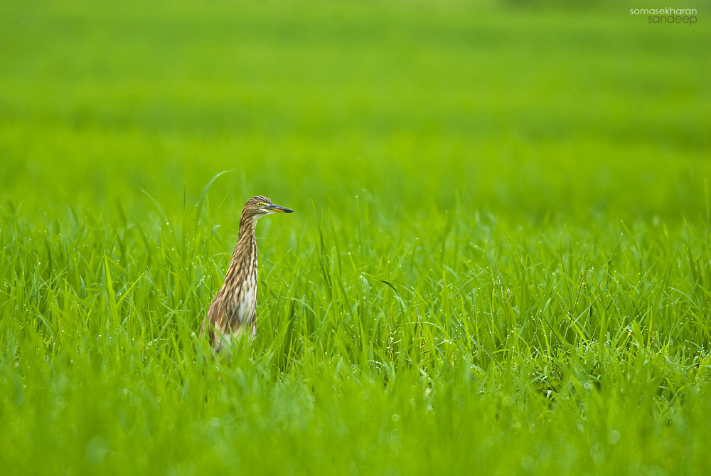 Is the rain gone ? : A pond heron seems to look around anxiously during a break in the shower