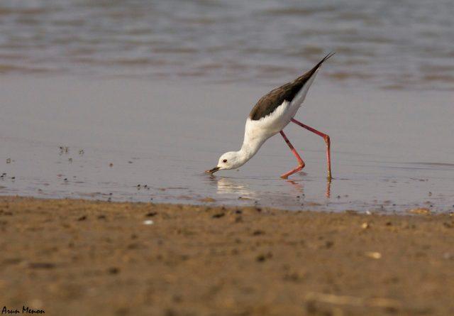 Black-winged stilt probing the mud