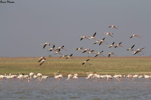 Flamingos about to land