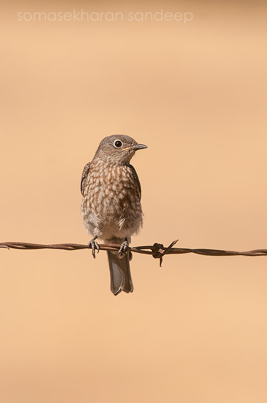The female Western Bluebird