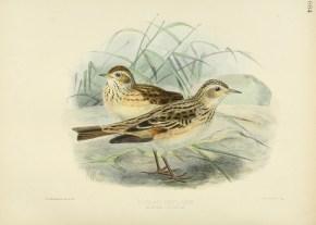 A Skylark on song evokes Shelley