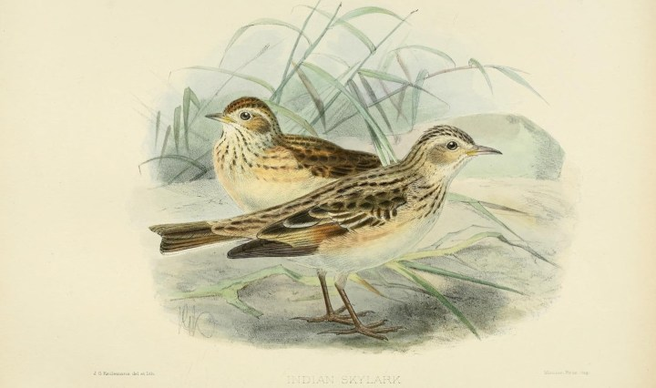 Oriental Skylark - plate from Biodiversity Heritage Library