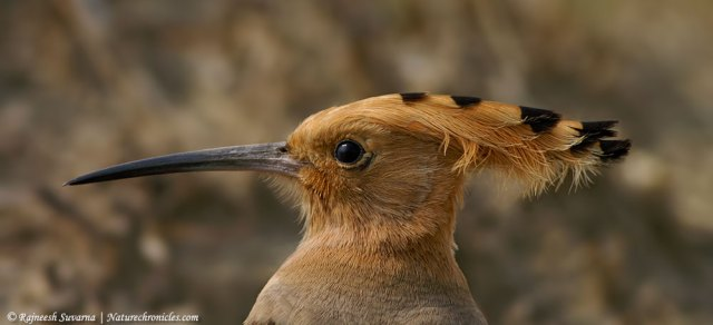 The enigmatic Hoopoe
