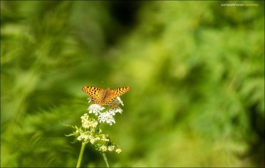 A butterfly spotted near humkhani- common leopard?