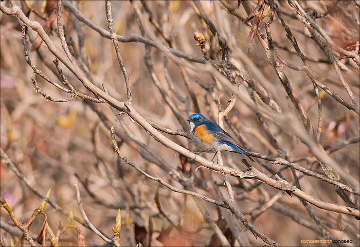 The himalayan bluetail