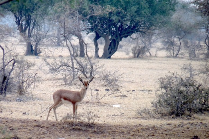 Eye, gazelle, delicate wanderer. The Chinkara is so much part of this landscape