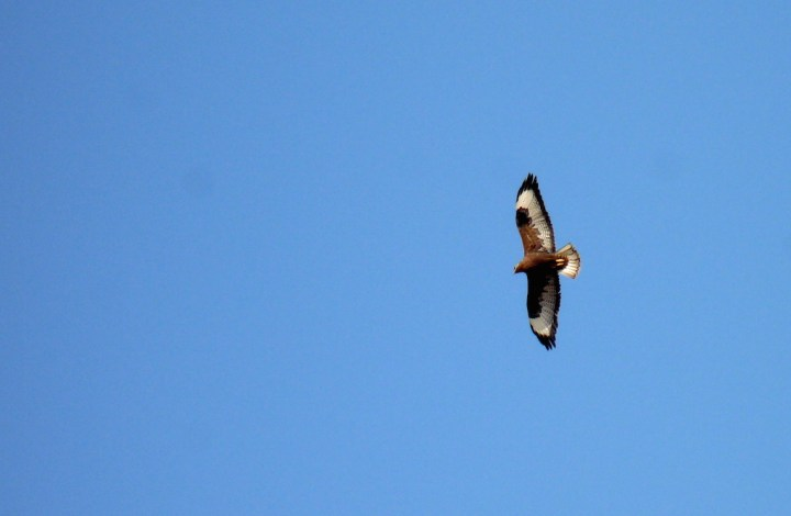 A Common Buzzard wheels in the sky