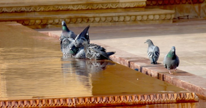 Feral Pigeons enjoy a splash. I looked eagerly for the Yellow-eyed Pigeon