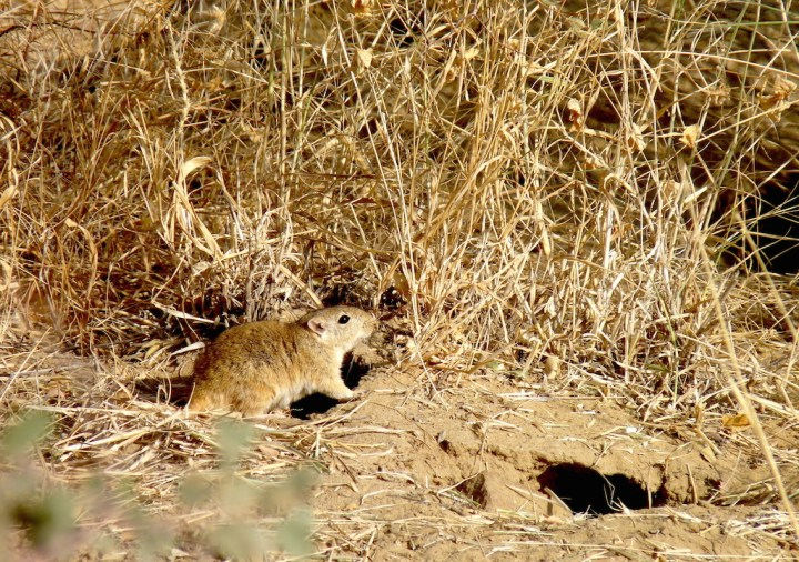 The Indian Desert Jird, one of my favourite rodents