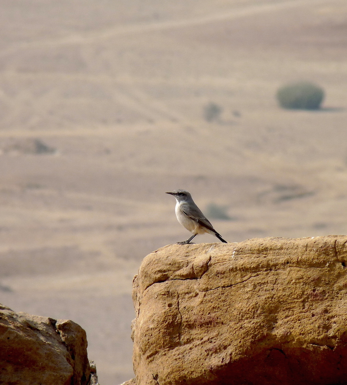 An Isabelline Wheatear against the dramatic desert landscape