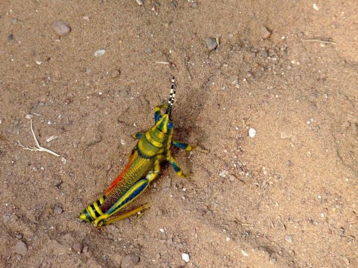 A Painted Grasshopper is gaudiness itself