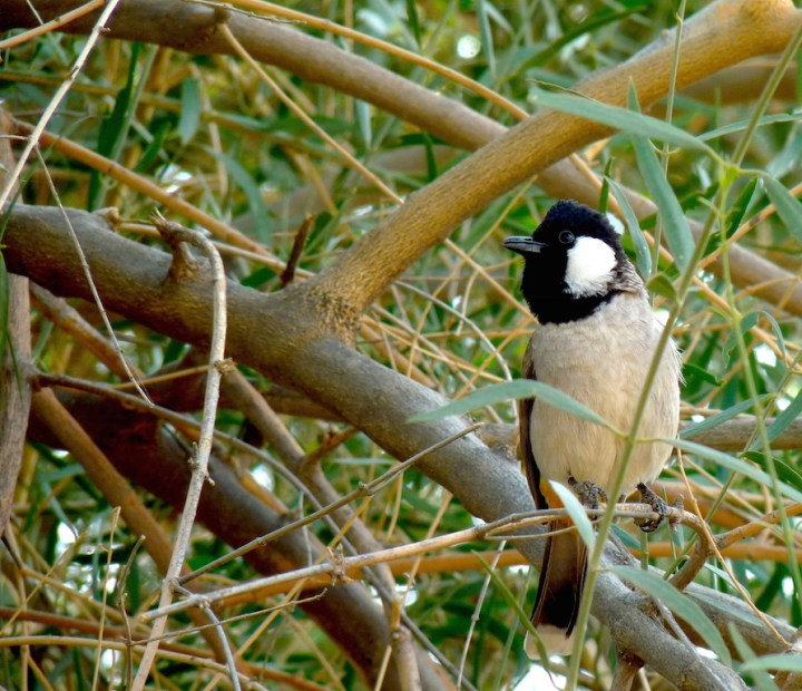 This White-eared Bulbul boldly went where no bulbuls would dare to go - to the basket of raisins
