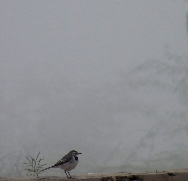 A White Wagtail against a screen of mist in Kheechan
