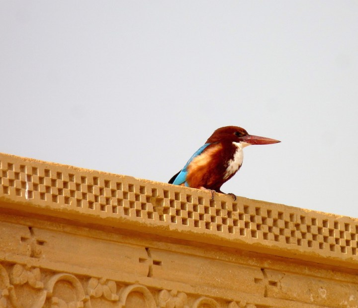 A White-throated Kingfisher takes advantage of nearby water bodies