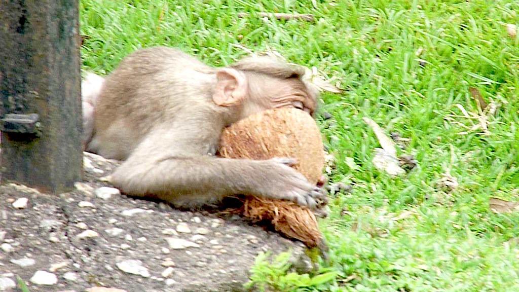 An A-1 Nut Job, this. A bonnet macaque enjoys a coconut