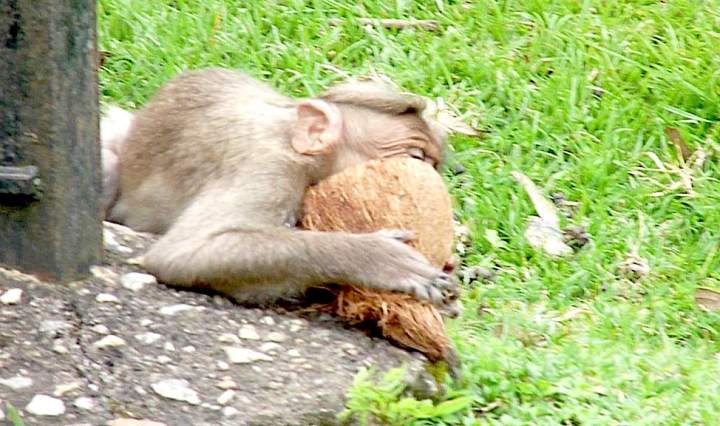 An A-1 Nut Job, this. A bonnet macaque enjoys a coconut