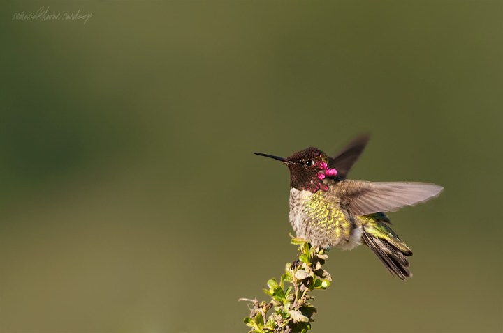 The Anna's humming bird-  peripheral view. Not bad colors , eh?