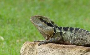 Encounter – The Australian Water Dragon