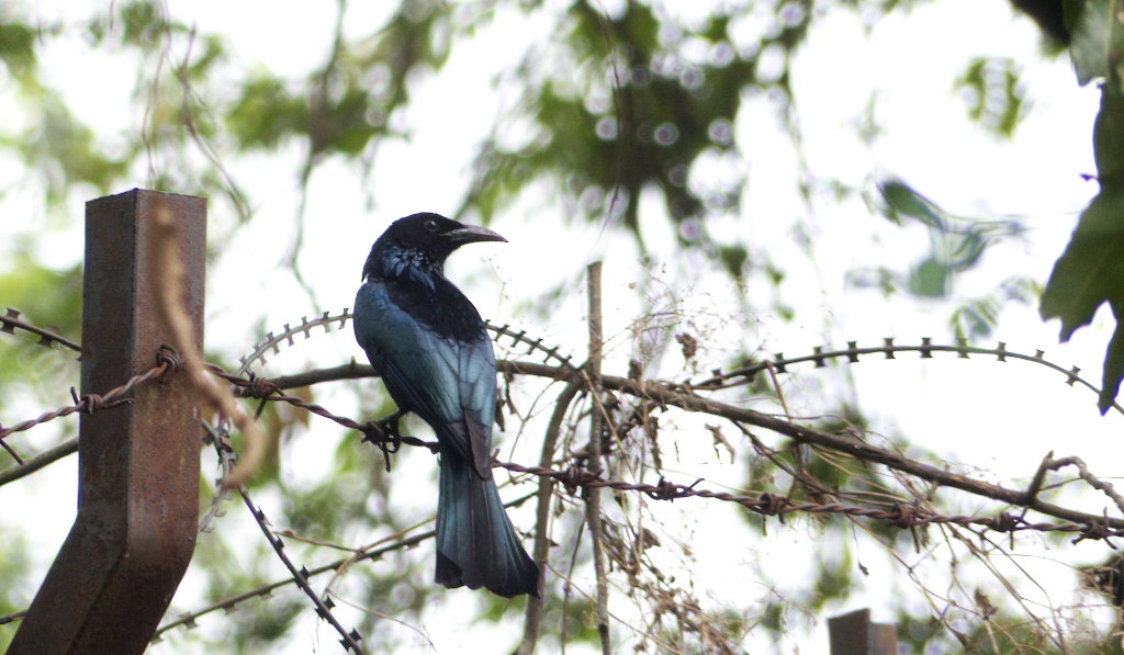 Note the bill - like a crow's. The Crow-billed Drongo is glossy black with a broad tail, less forked than the Black Drongo's