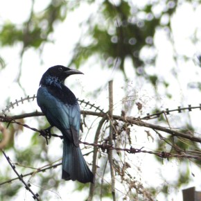 Encounter – The Crow-billed Drongo
