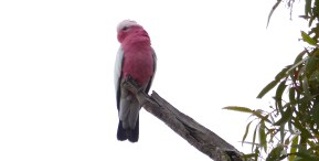 Encounter - The Galah or Rose-breasted Cockatoo