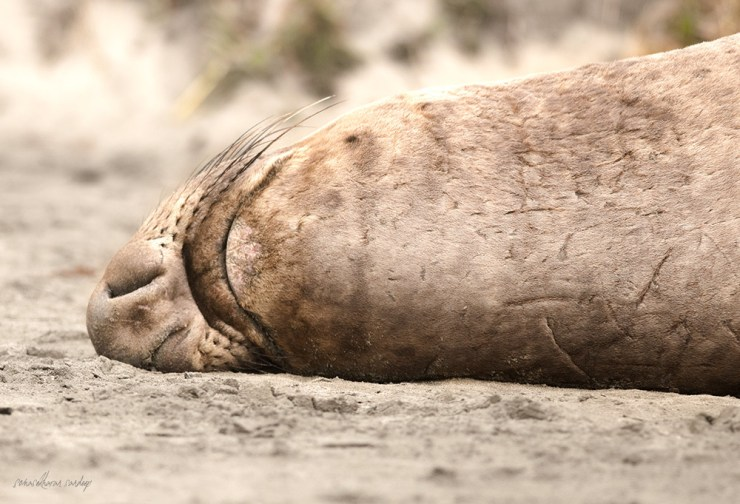 Having rolled over, this male Northern Elephant Seal reveals an underside scarred from numerous mating battles, hunts, and other close scrapes