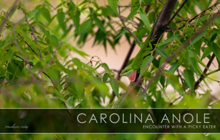 The male Carolina Anole, with dewlap extended