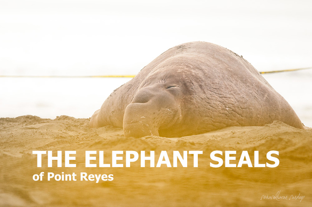 A northern elephant seal asleep on the seashore at Point Reyes