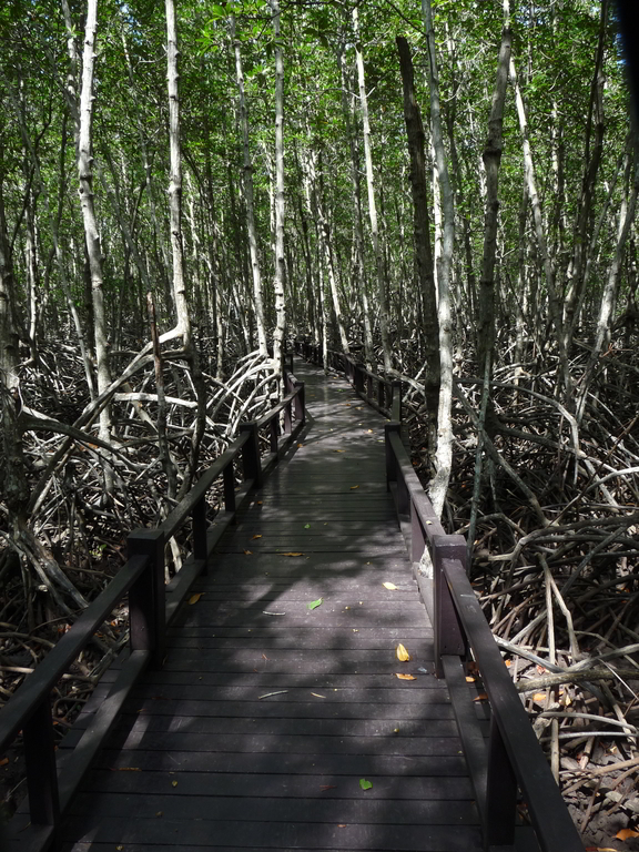 A section of the boardwalk through the mangrove forest